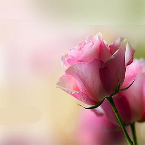 Tender Rose Самая нежная роза