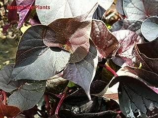 Ipomoea - ACE of Spades Sweet Potato Vine - 8 Starter Plants