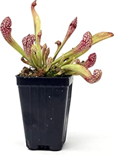 Sarracenia Scarlet Belle Live Carnivorous Pitcher Plant