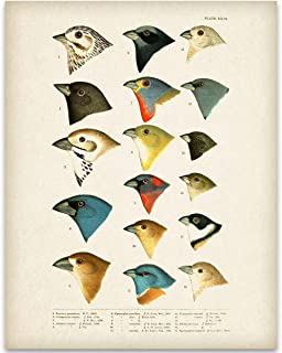 1905 North American Birds Illustration - 11x14 Unframed Art Print - Great Home Decor and a Great Gift for Bird Watchers, Also Makes a Great Gift Under $15