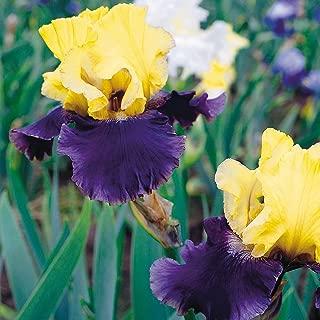 Van Zyverden Bearded Iris Jurassic Park Set of 3 roots
