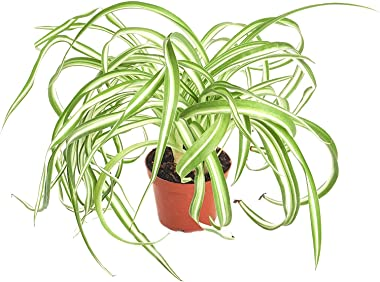 Shop Succulents | 'Bonnie' Curly Spider Hand Selected for Health and Size Hanging Plant, 4 inch