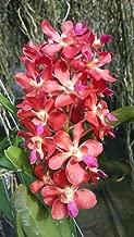 Orchid Vanda Rhynchorides Bangkok Sunset x Ren storiei Tropical Plants