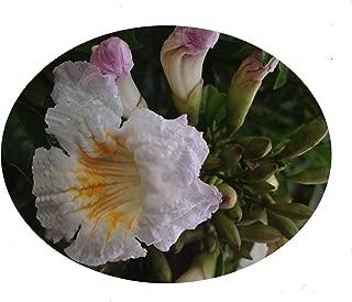 radermachera kunming dwarf tree jasmine