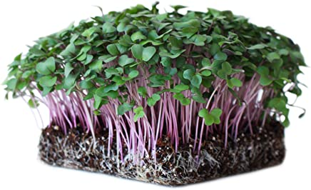 Variety Sizes FREE SHIP NON-GMO Heirloom Purple Sprouting Broccoli Seeds