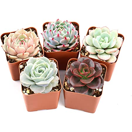 Blue Moonstone Succulents Pachyveria Oviferum 2 Pack in 2 pots