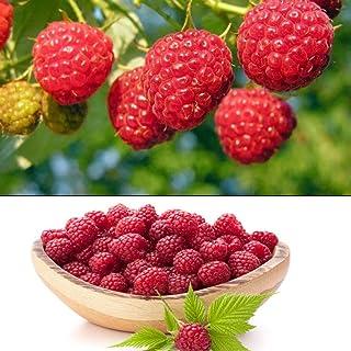 50pcs Semillas de Frambueso, Semillas Frutales Rubus Idaeus