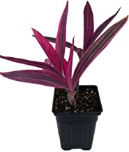 """Variegated Purple Heart Plant - Setcreasea - Indoors or Out - Easy - 4"""" Pot"""