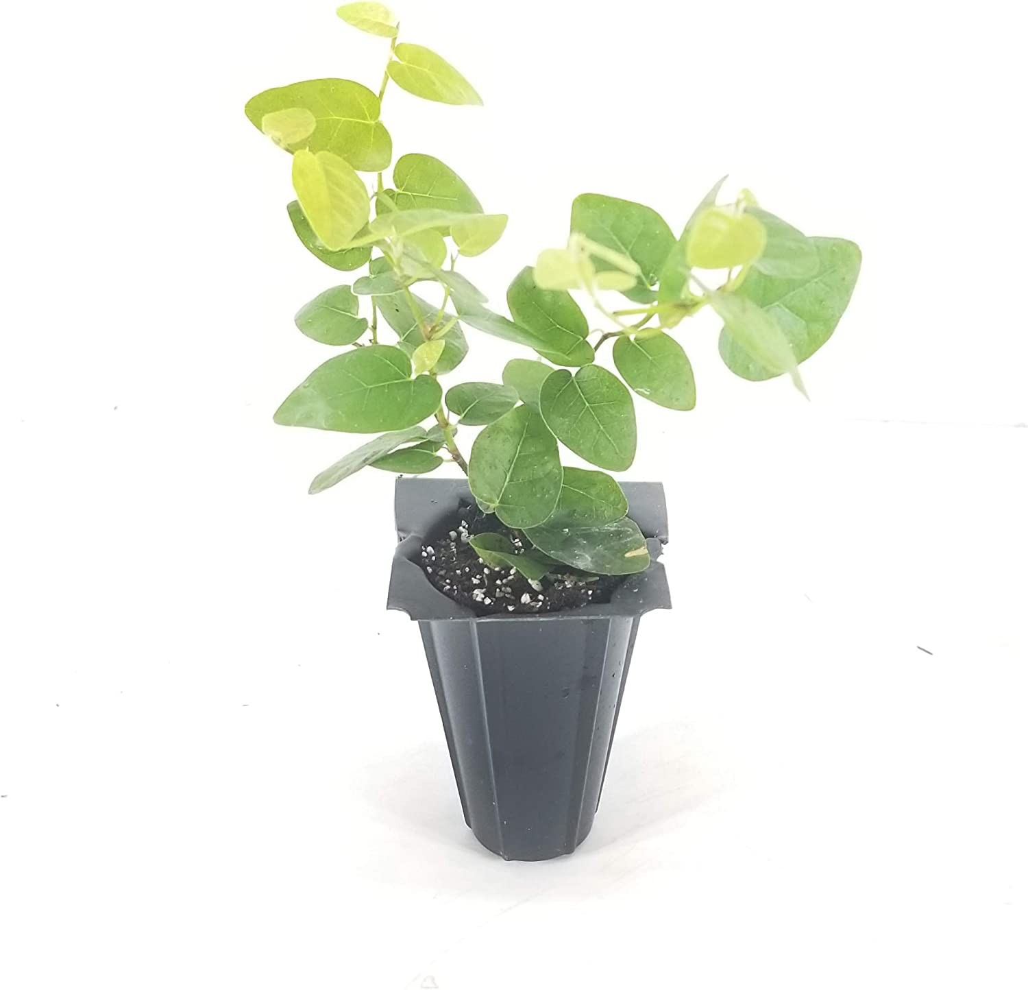 Creeping Fig Vine - New item Ficus Pumila Fully 5 ☆ very popular Rooted Plants 30 Live