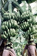 Musa Double Mahoi, Banana Tree (2 Starter Plants)