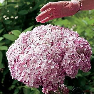 incrediball hydrangea blush