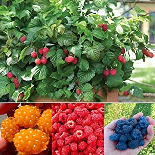 Elever Adorable Organic Everbearing Raspberry Seeds 100PCS (Red)