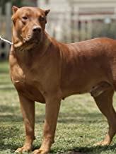 WORKING DOG KENNEL - DOBERMAN PINSCHERS CANE CORSOS DOGO ARGENTINOS BANDOGGES CANIS PANTHERS