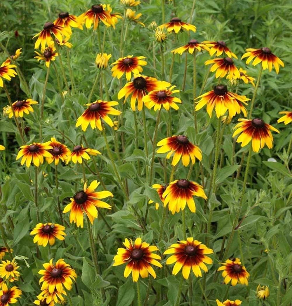 David's Garden Seeds Flower Daisy Gloriosa 500 Columbus Mall 9321 Rapid rise Multi Non-