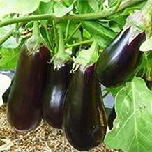 Nikitovka Eggplant Aubergine Adonis F1 50 Seeds Non GMO Hybrid Organically Grown for Garden Planting