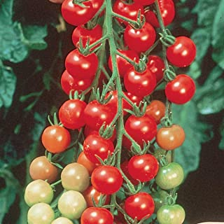 Burpee Super Sweet 100' Hybrid Cherry Tomato, 3 Live Plants   2 1/2