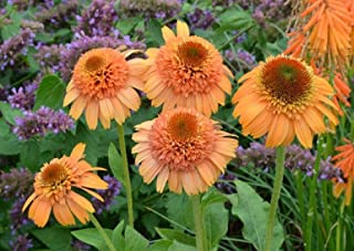 Echinacea 'Supreme Cantaloupe' Flower Seeds, 50 Seeds / Pack, Orange Red Coneflower KK049