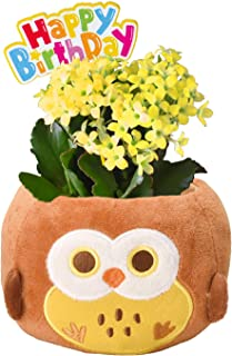 【Amazon限定ブランド】 花のギフト社 カランコエ鉢植え からんこえの花 カランコエ 花鉢 鉢花