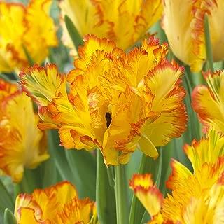 Van Zyverden Tulips Caribbean Parrot Set of 8 Bulbs