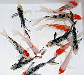 butterfly koi fish tank