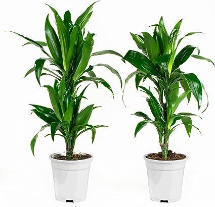 plante dépolluante dracaena crema pentru negii genitali