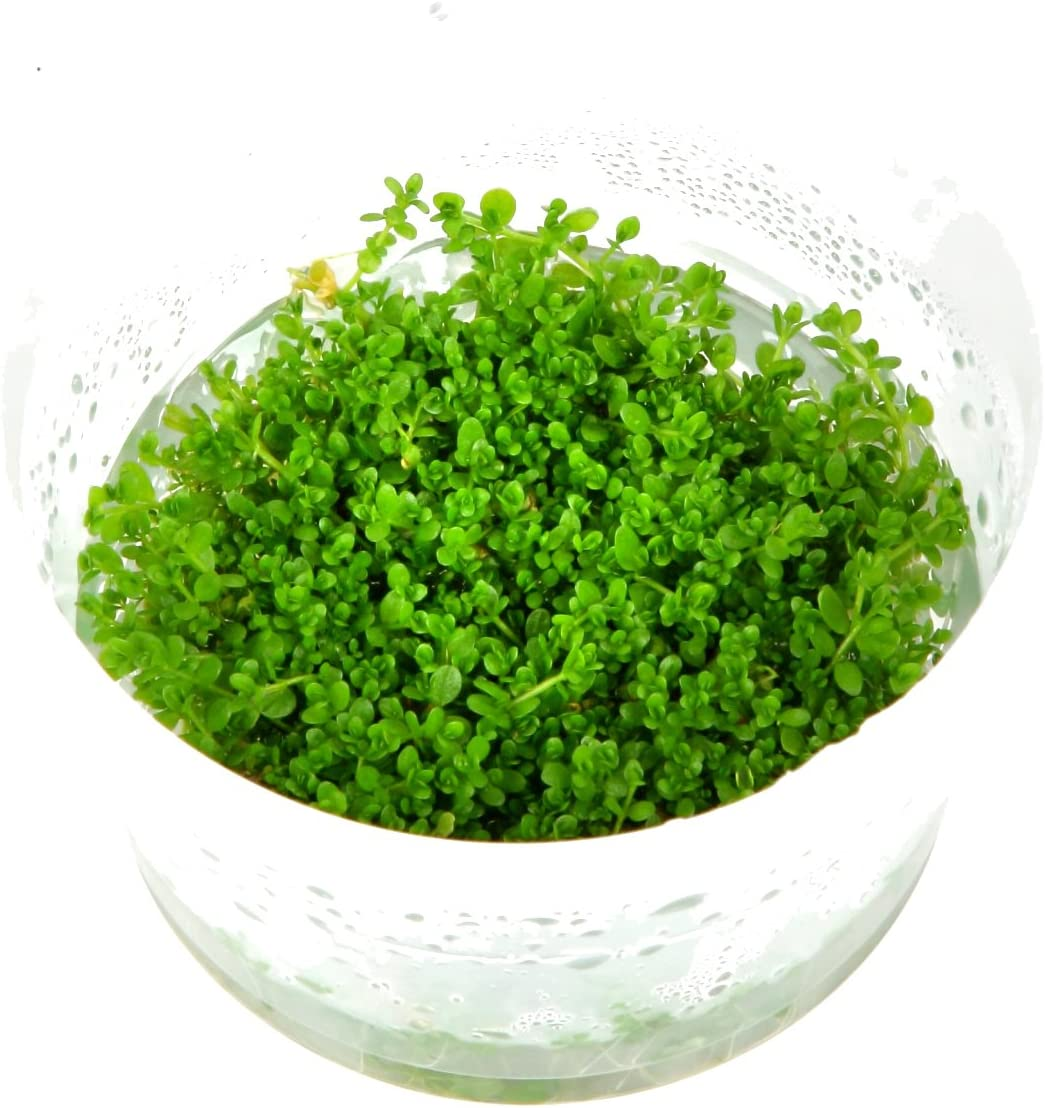 Tropica Hemianthus callitrichoides 'Cuba' 1 - 2-grow Tissue Culture in vitro planta para Acuario Camarón Safe & Caracol libre