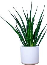 Sansevieria Friends | Vrouwentong incl. sierpot | Hoogte 35-40cm | Pot - Ø16cm