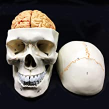 Best brain with skull Reviews