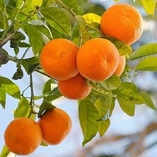 Van Zyverden 83912 Citrus Tree Clementine Mandarin 1 Plant, 4