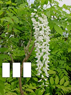 Best wisteria floribunda longissima alba Reviews