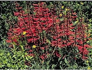 Erythrina Herbacea Coral Bean Starter Plant DP01
