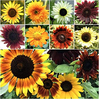Bulk Package of 1,000+ Seeds, Sunflower Crazy Mixture 15+ Varieties (Helianthus annuus) Non-GMO Seeds by Seed Needs