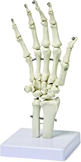 Vision Scientific VAJ210 Right Hand Skeleton with Articulated Joints | Shows Ulna and Radius, Portray Natural Movement of Human Hand | Instruction Manual