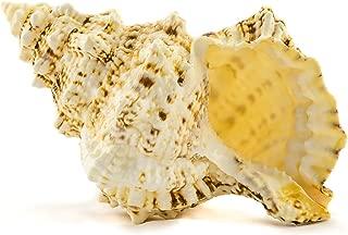 Frog Shell Sea Shell   1 Frog Shell Sea Shells   7