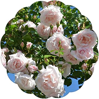 Stargazer Perennials New Dawn Climbing Rose Plant Potted - Reblooming Pink Flowers Own Root