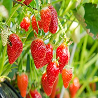 Eversweet Everbearing 50 Live Strawberry Plants, Non GMO,