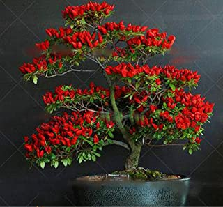 red chili pepper plant
