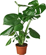 """HOUSE PLANT SHOP   Monstera Deliciosa 'Swiss Cheese Plant' - 6"""" Pot   Live Indoor Plant   Free Care Guide"""