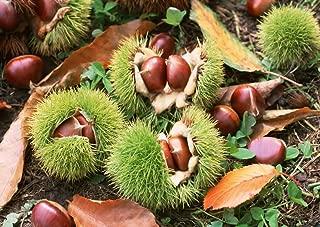 SD2500 American Chestnut Seeds, Castanea Dentata Seeds, Chinkapin Nut Seeds, New Live Seeds (10 Seeds)