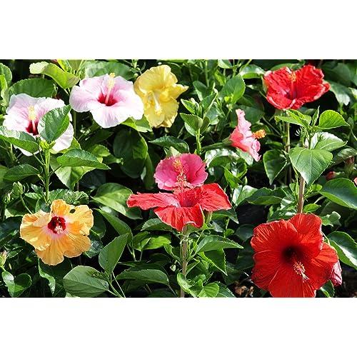 Hibiscus Plant Amazoncouk
