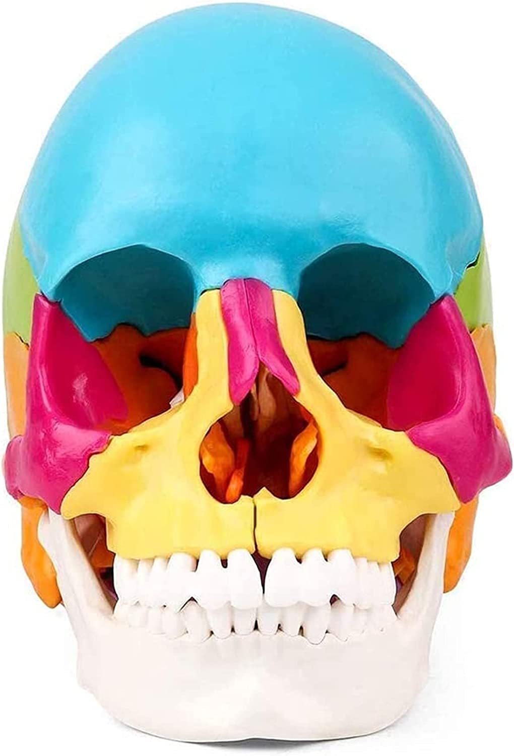 Direct store Anatomy Model Education Toys New mail order Human Painted Skull