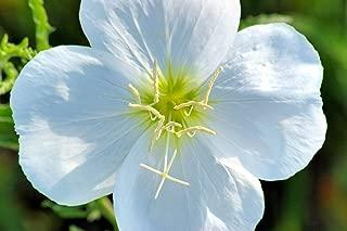250 White Pale Evening Primrose Buttercup Flower Seeds