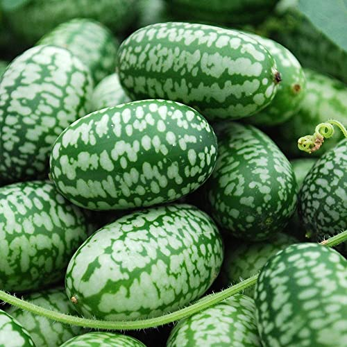 Glamaours Ragdoll50 Watermelon Seeds Cucamelon Seeds Pack of 10 Pieces Fruit Seeds for Garden Planting