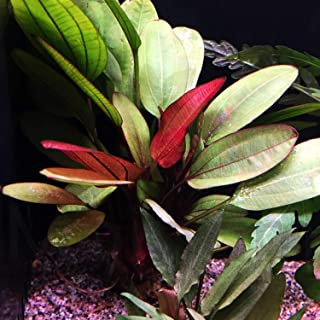 Mainam Echinodorus Hadi Red Pearl Bundle Amazon Sword Tropical Live Aquarium Plants Decoration