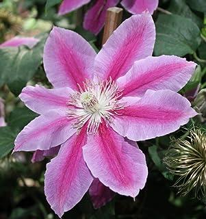"""Dr. Ruppel Clematis Vine - Perennial - 2.5"""" Pot"""