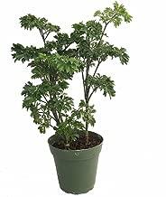 japanese parsley plant