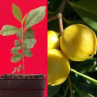 Best lemon cattley guava Reviews