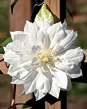 """Clematis Duchess of Edinburgh - Double/White - Potted - 2.5"""" Pot"""