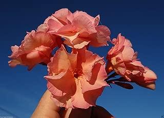 Best pink oleander seeds Reviews