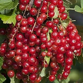 Jonkheer Van Tets Red Currant Bush - Tasty - 2.5
